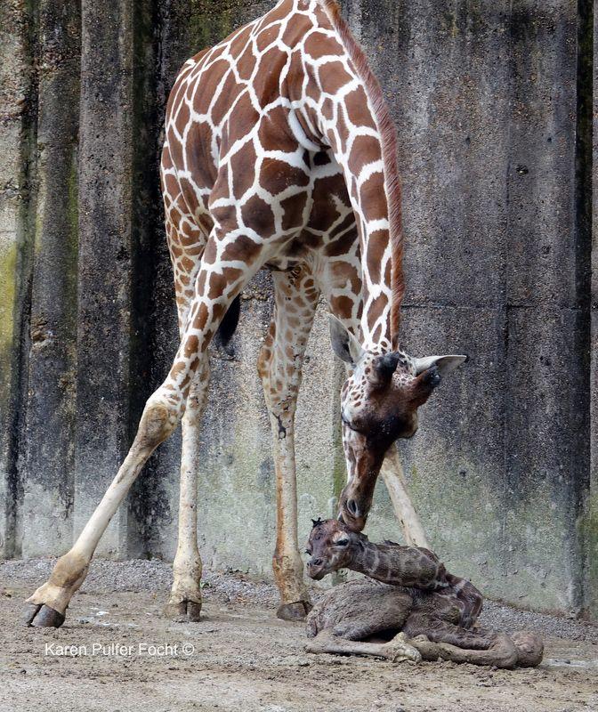 Giraffe Gives Birth On Exhibit Memphis zoo, Giraffe