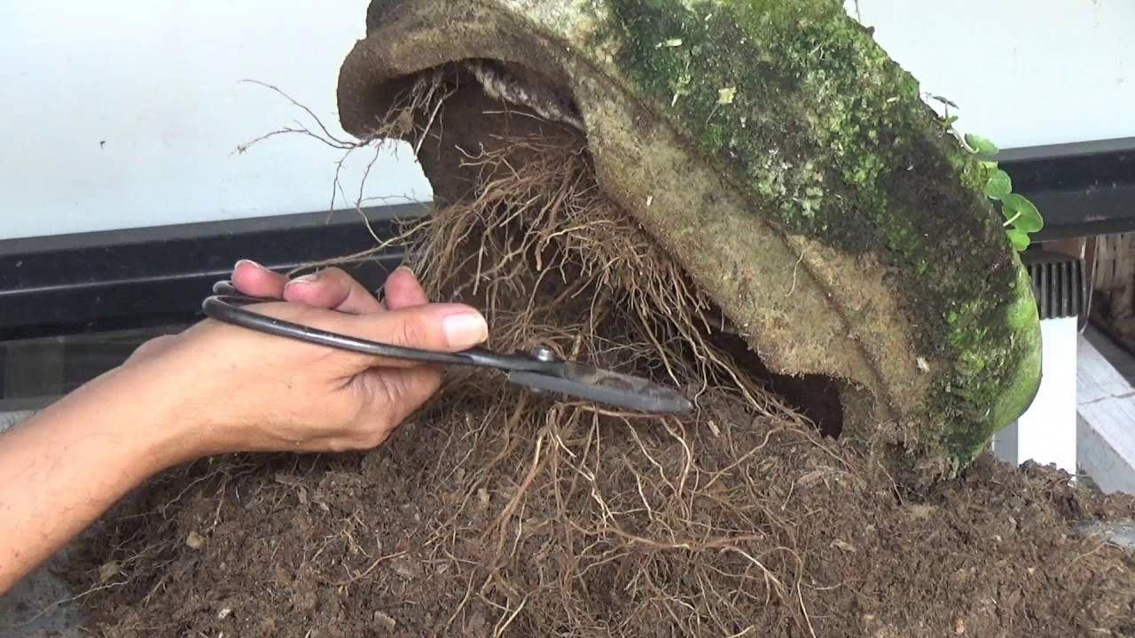 Bonsai Tutorials for Beginners Escape Root Bonsai tree