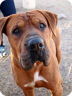 Chandler, AZ Shar Pei/Boxer Mix. Meet IGOR, a dog for