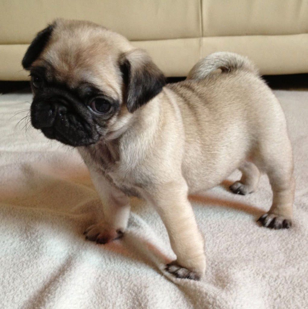 The Pug Puppy Is A Sensitive Dog To The Tone Of The Voice Smart