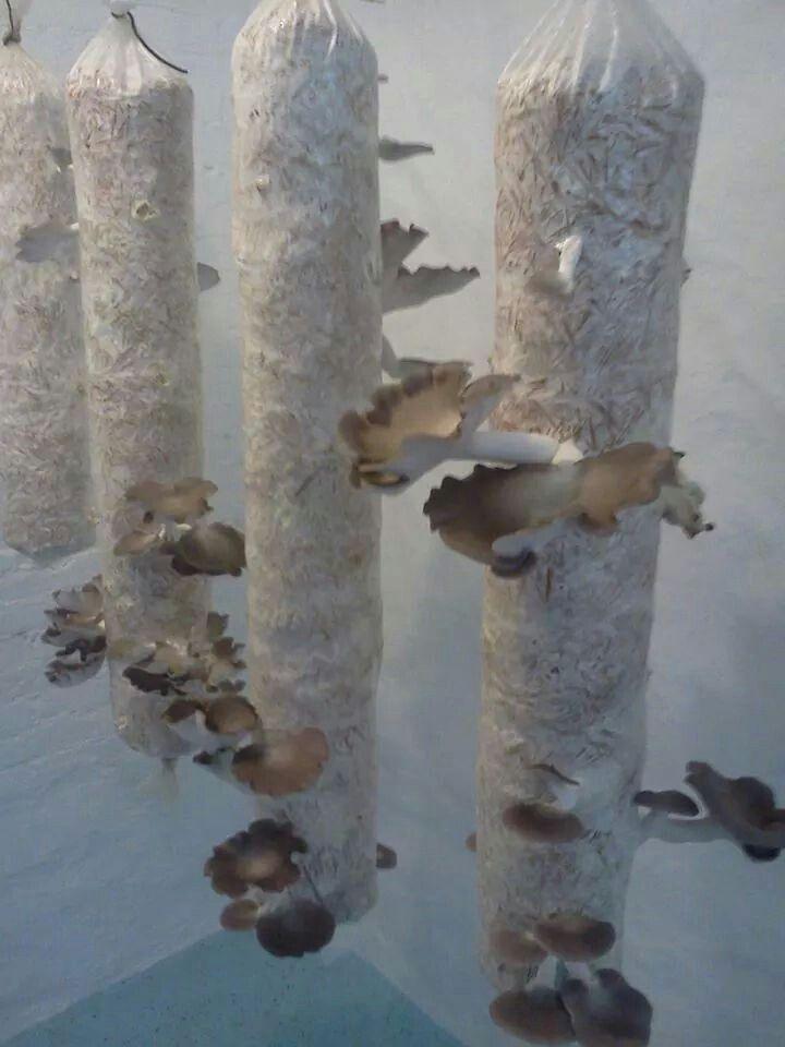 Vertical mushroom growing