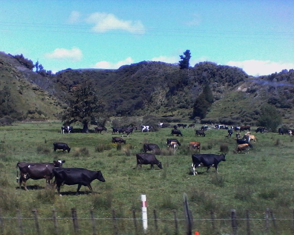 Taranaki dairy cattle