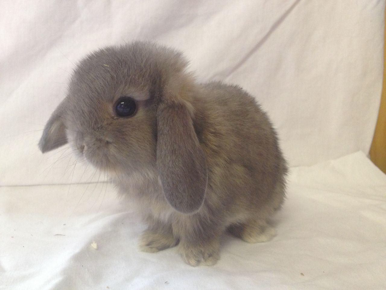 Holland Lop Rabbit Breeders  USA Rabbit Breeders