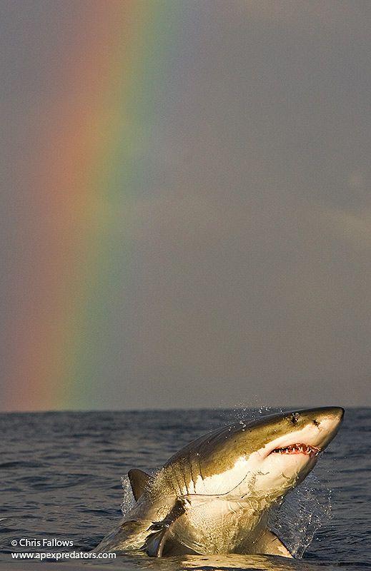 Aparador Line Branco Laqueado ~ Ten Photos of Great White Sharks to Take Your Breath Away Tubar u00e3o, Arcos iris e Arco