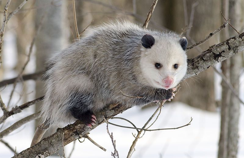 Opossums are almost completely immune to the venom from