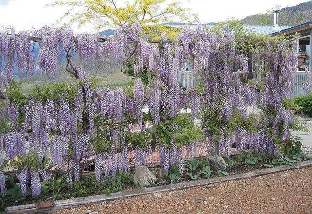 Wisteria Purple Wisteria Beautiful Gardens Plants