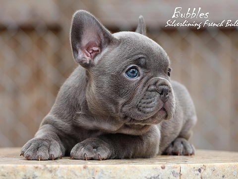 French Bulldog South Florida French Bulldog Bulldog French Bulldog Puppies