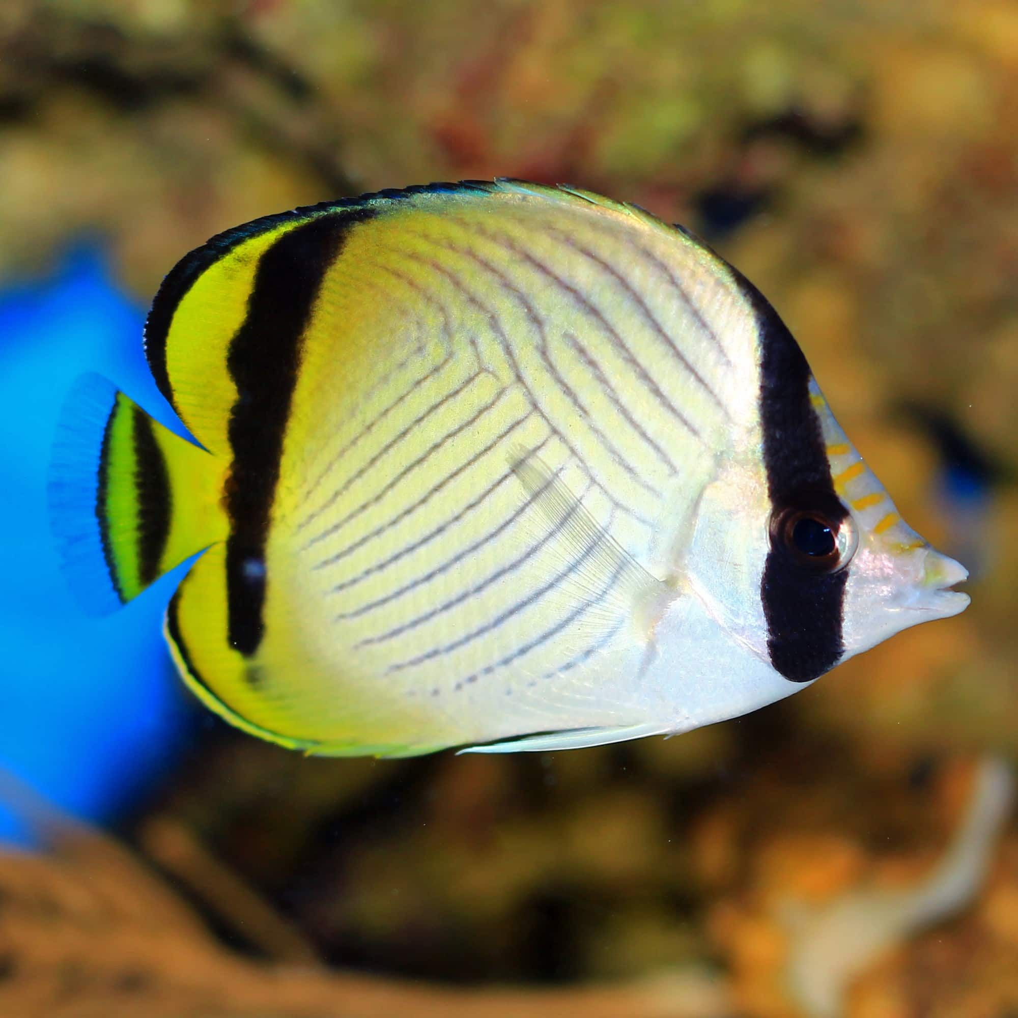 Pin By Lia Field On Saltwater Marine Fish To Sell In 2020 Butterfly Fish Marine Fish Fish