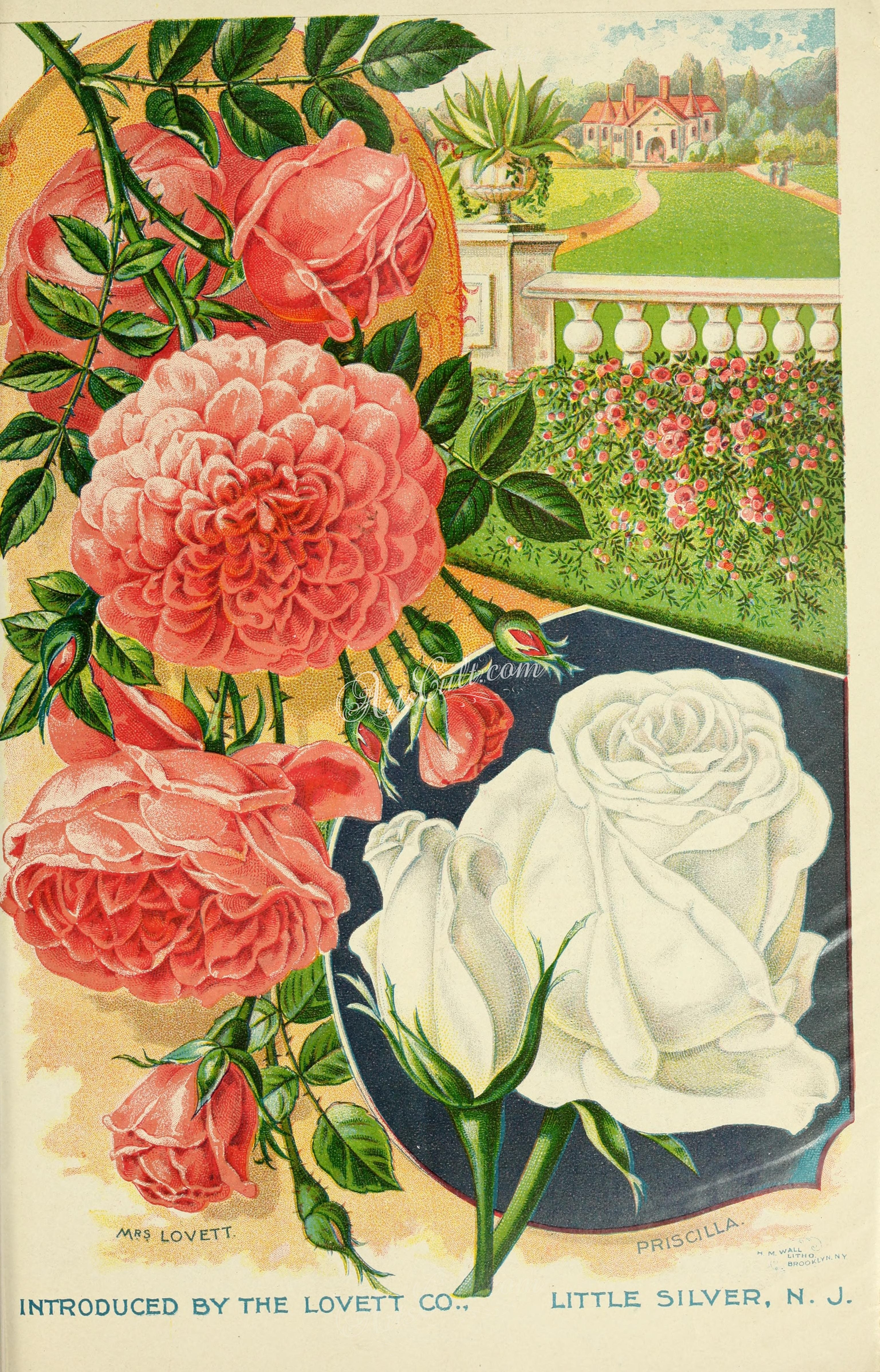 roses_flowers01139 039Rose lithographs scan