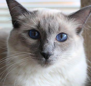 Jabuchs Balinese Cattery Kentucky Available Kittens Cattery