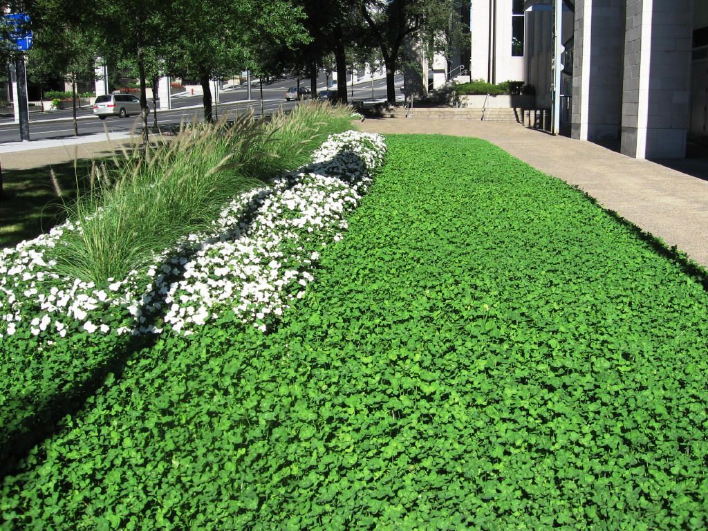 White clover lawn drought resistant makes its own for Weeds garden maintenance