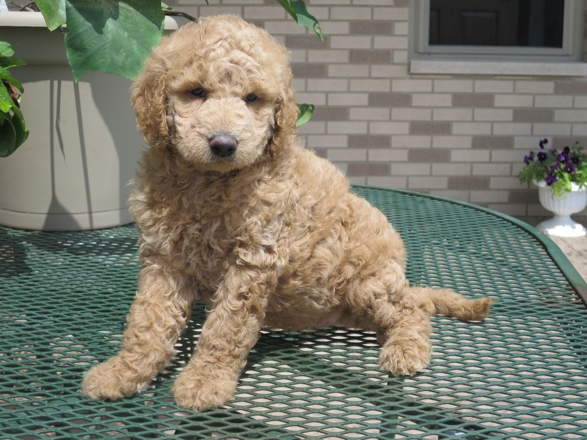 Puppies for sale Goldendoodle, Goldendoodles f