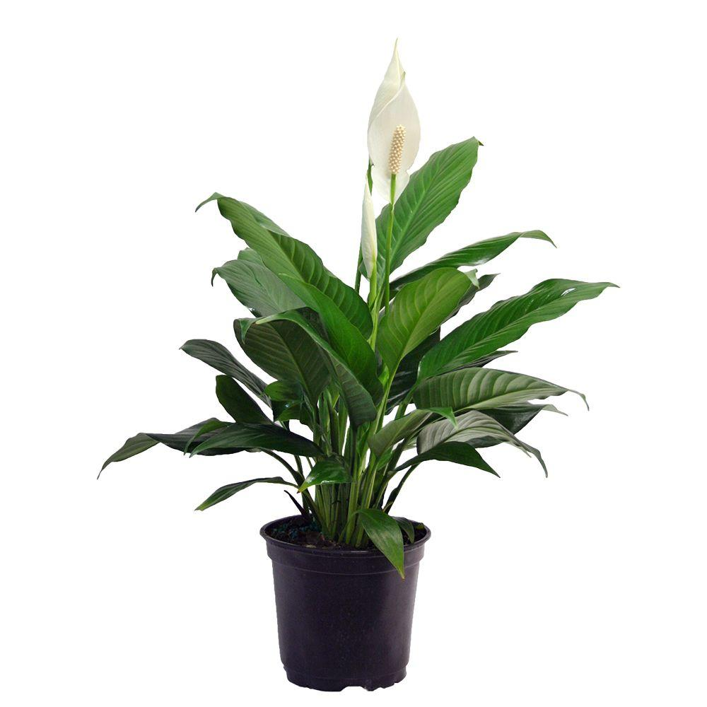 Costa Farms Spathiphyllum In 6 In Grower Pot I Do Pinterest