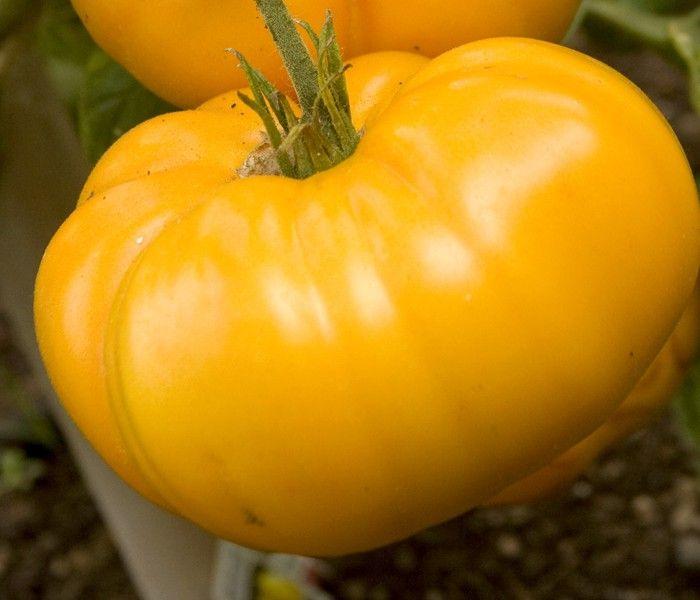 Yellow Brandywine Tomato Dempseyseed Com Dempsey Seed 640 x 480