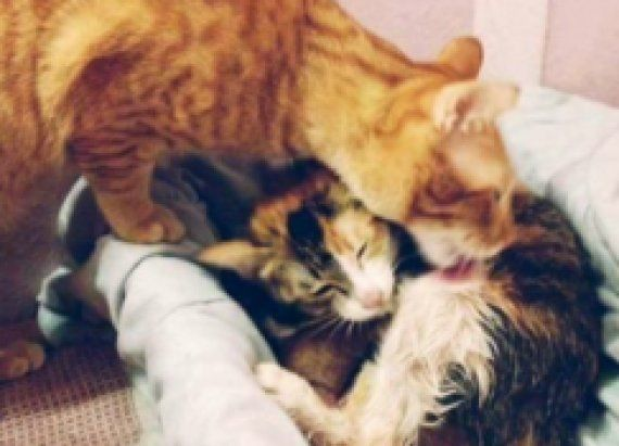 When Mom Suddenly Goes Into Labor Father Cat Stuns His Owners By Jumping Into Action Kittens Cats Cat Dad