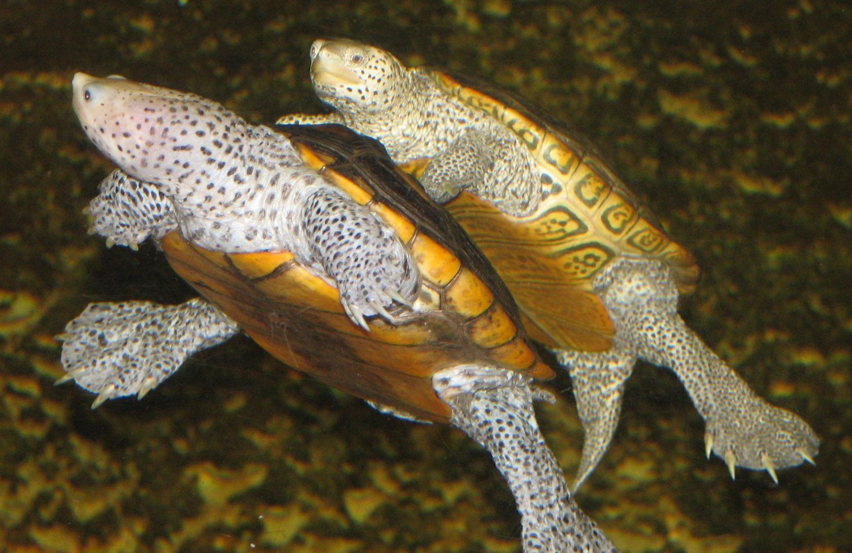 Diamondback terrapins herpetology turtles tortoises amp terrapins