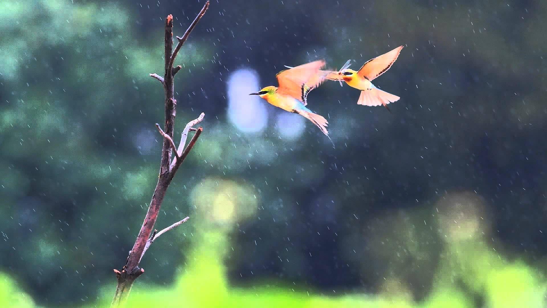 Relaxing Sounds Birds In The Rain Meditation Bowls Music Backgroun Animals Bird Wallpaper Big Animals