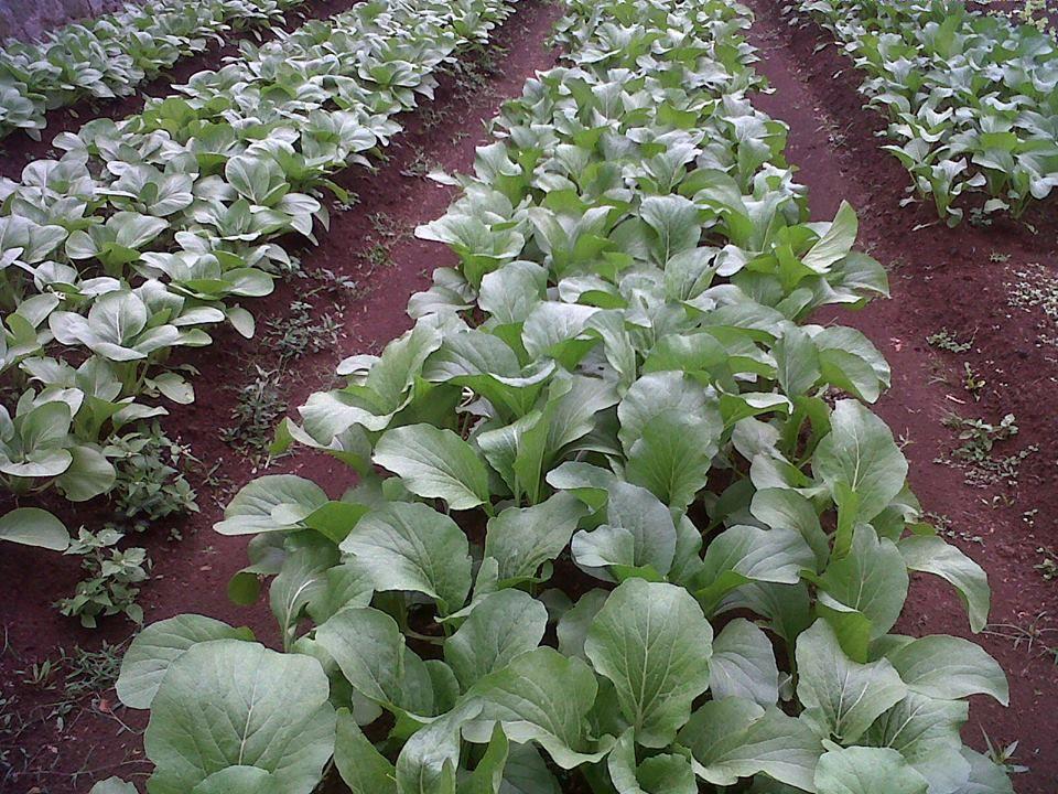 Kebun Sayur Agro