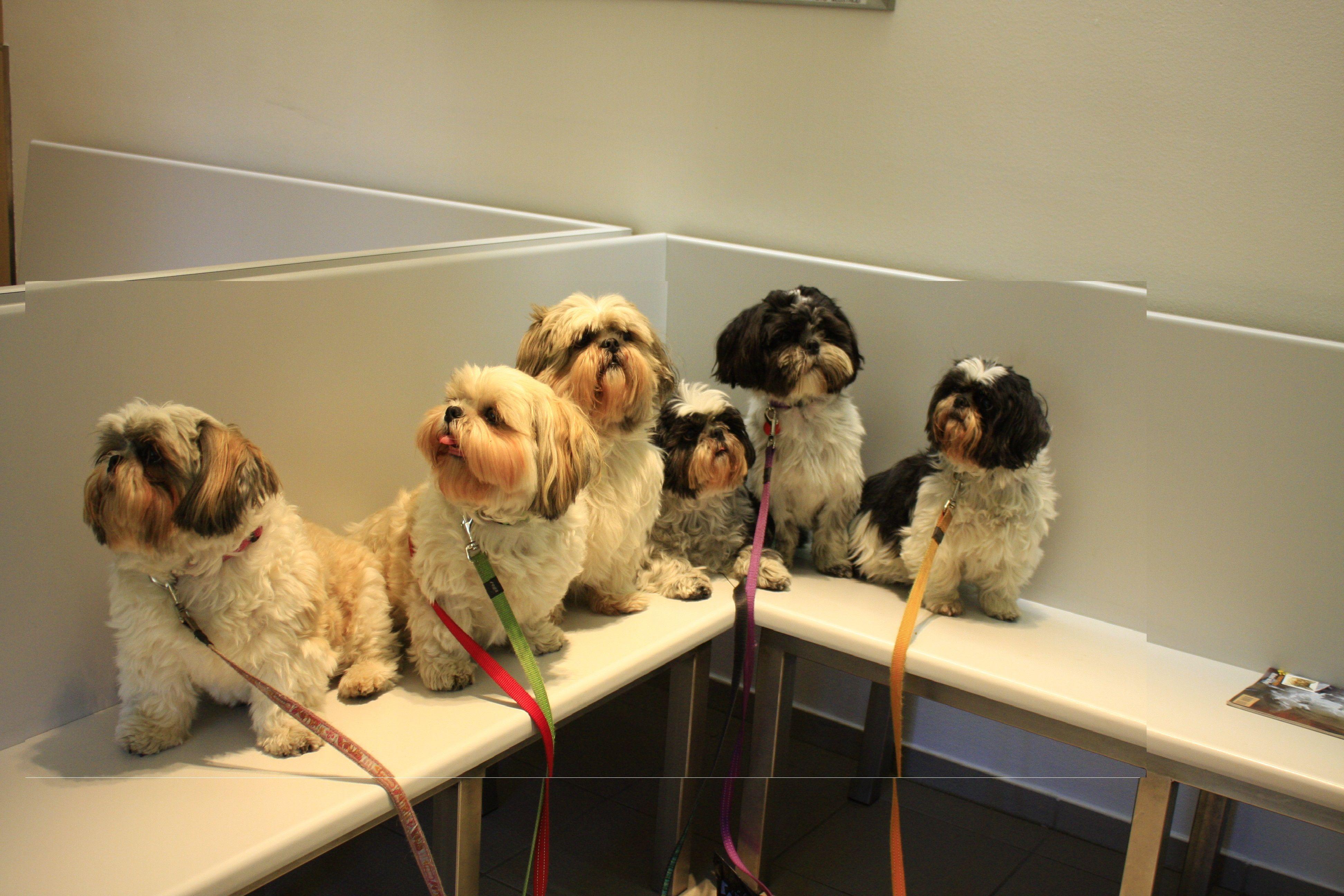 Bij De Dierenarts Cute Dogs Shih Tzu Pup