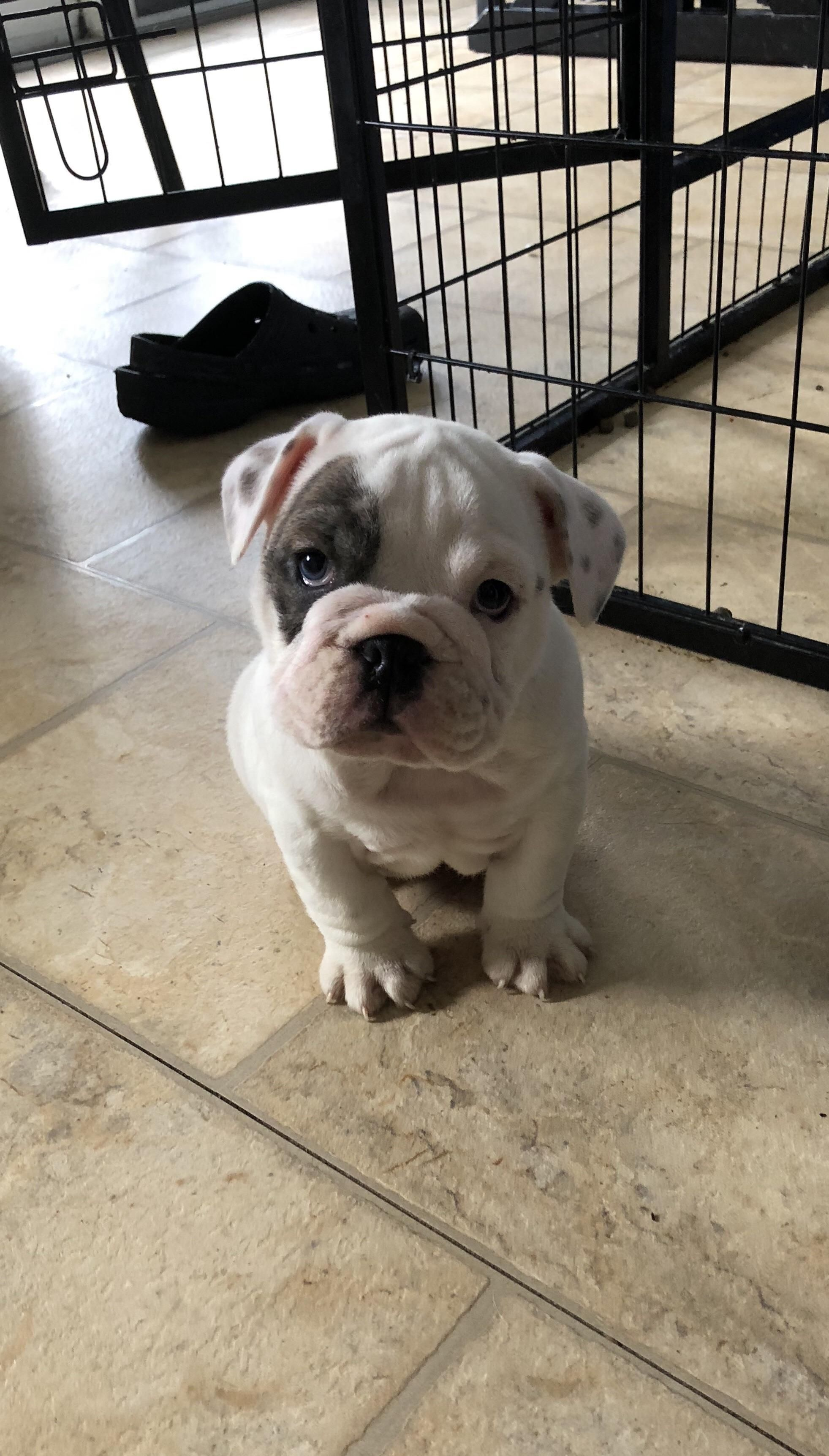This Is Butters Butters Meet Reddit Cute Animals Bulldog