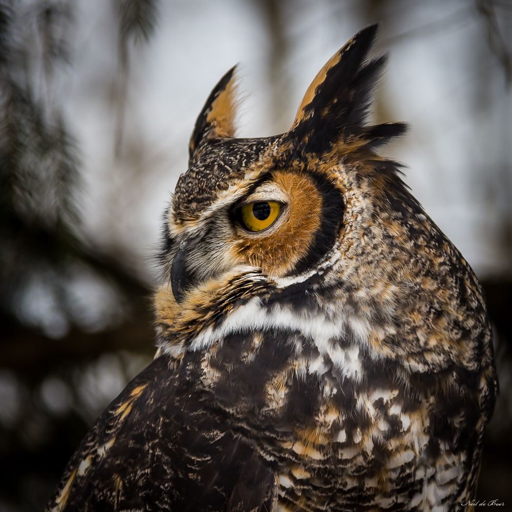 essay owl bird Owl is the bird of prey that can be found on every continent except antarctica  there are more than 200 species of owls that live in different kind of terrestrial.