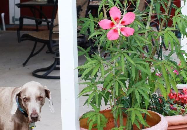 Texas Star Hibiscus Dies To Ground In Winter But Beautiful Huge