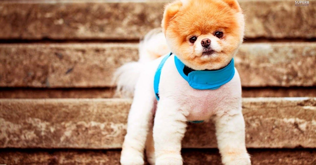 Cute Pomeranian Puppies Wallpaper Image Download Cute Pomeranian Puppies For Your Desktop Backgrounds High Qua Boo The Dog Boo The Cutest Dog Cute Dogs Images