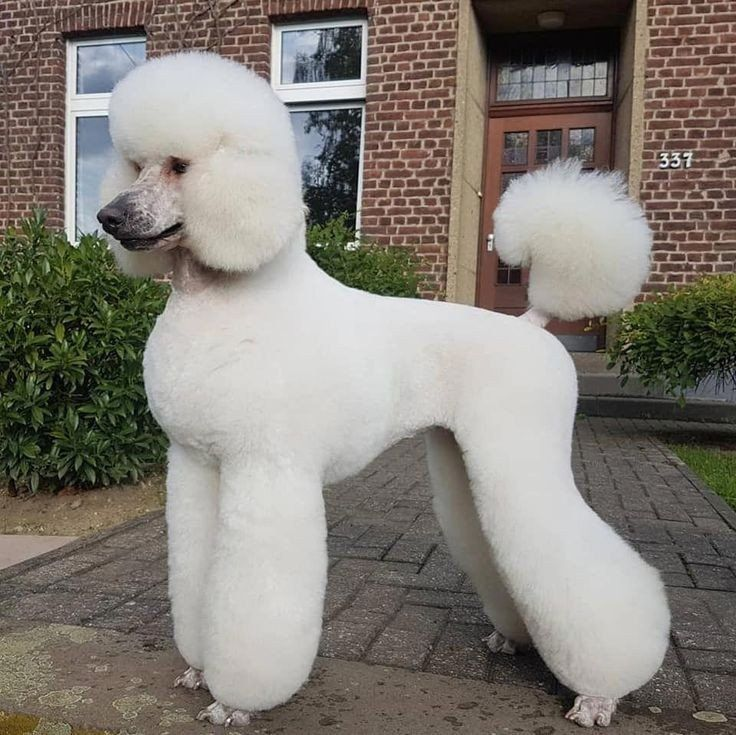 Poodle colours – The Poodle Place