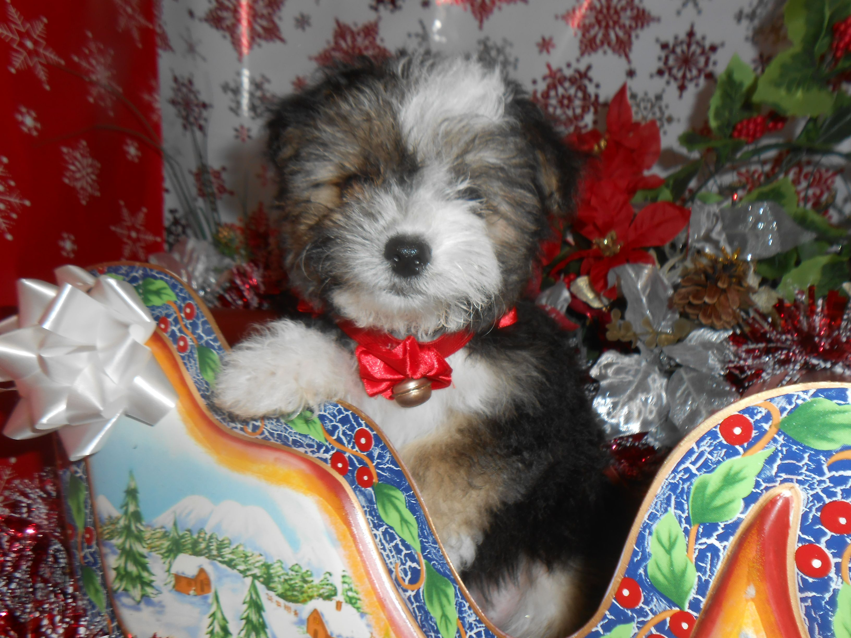 Morkie Puppies Hug A Pup 4950 W Irving Park Rd Chicago Il