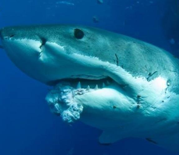 Yes, sharks DO get cancer...