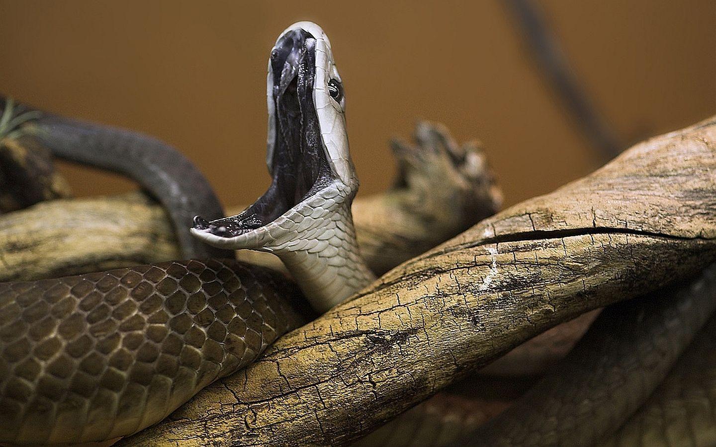 Pattern Snake Hd Wallpaper Black Mamba Snake Mamba Snake Poisonous Snakes