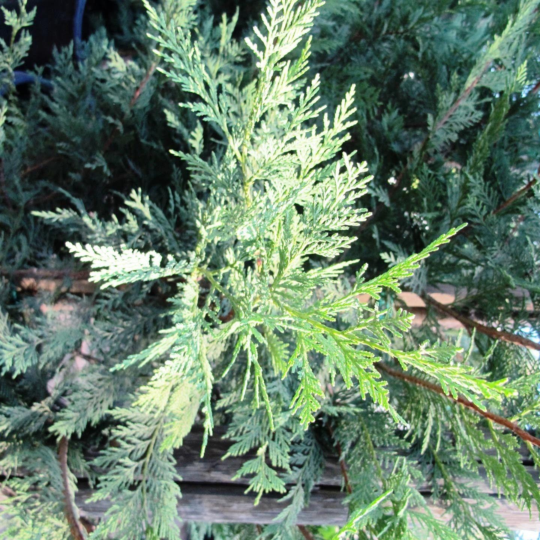 Juniperus virginiana 'Cupressifolia' - Column - Forms We Grow - Boething Treeland Farms