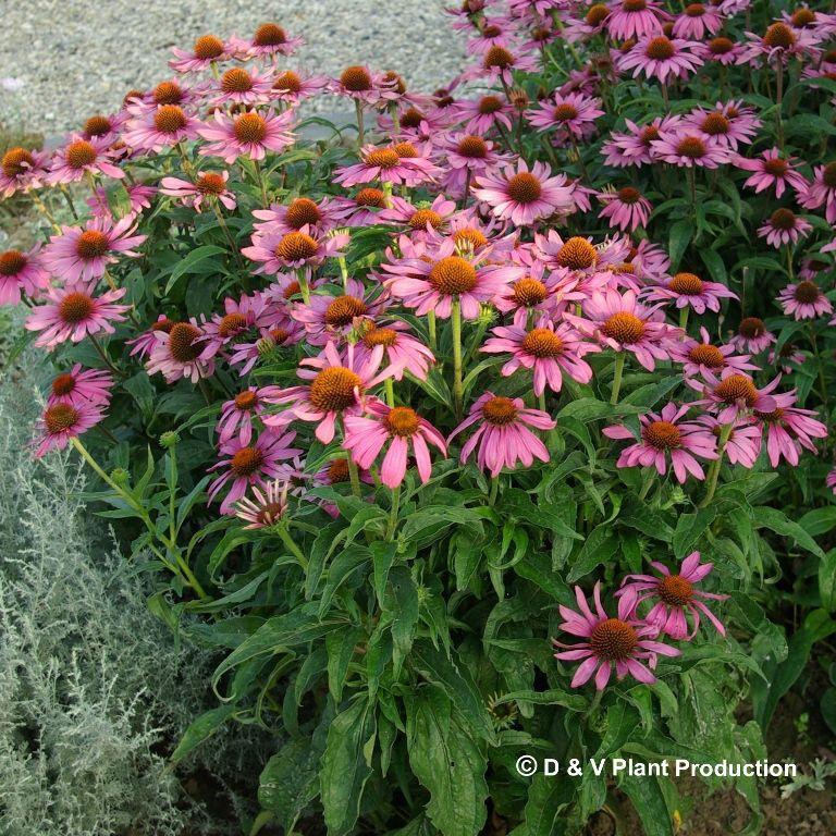 U bent op zoek naar een Echinacea purpurea (rode zonnehoed)? Tuincentrum Maréchal! ✔ Eigen kwekerij ✔ LAGE prijzen ✔ Uitgebreide planteninformatie