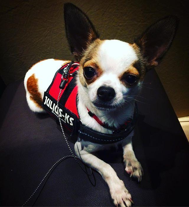 🐾 #Jedi #chihuahua #chihuahualove #chihuahuafanatics #chihuahuaoftheday #chihuahuaofinstagram #dog #dogoftheday #dogofinstagram #dogstagram #pet #petoftheday #petofinstagram #mydog #mydogiscutest  #lyon