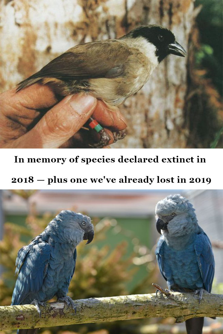 In memory of species declared extinct in 2018 — plus one