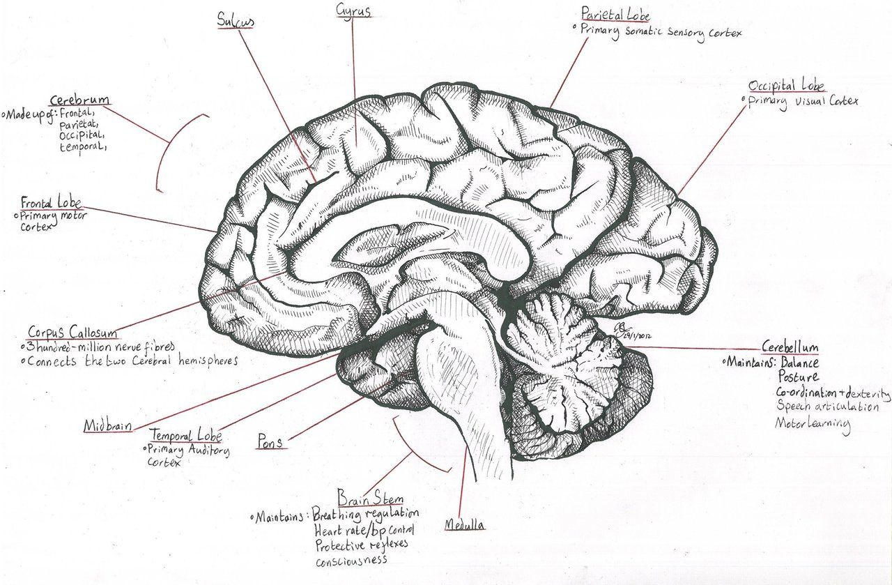 Mid Sagittal Section Through The Human Brain By Destroma