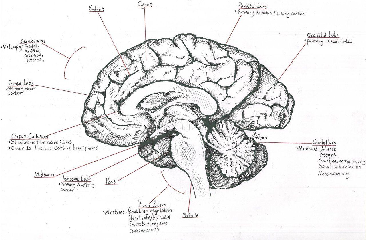 Mid Sagittal Section Through The Human Brain By Destroma