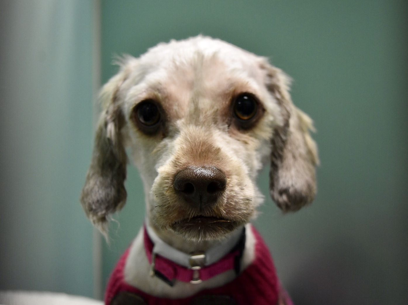 Super Urgent MIRACLE ID 41815 Poodle small breed mix