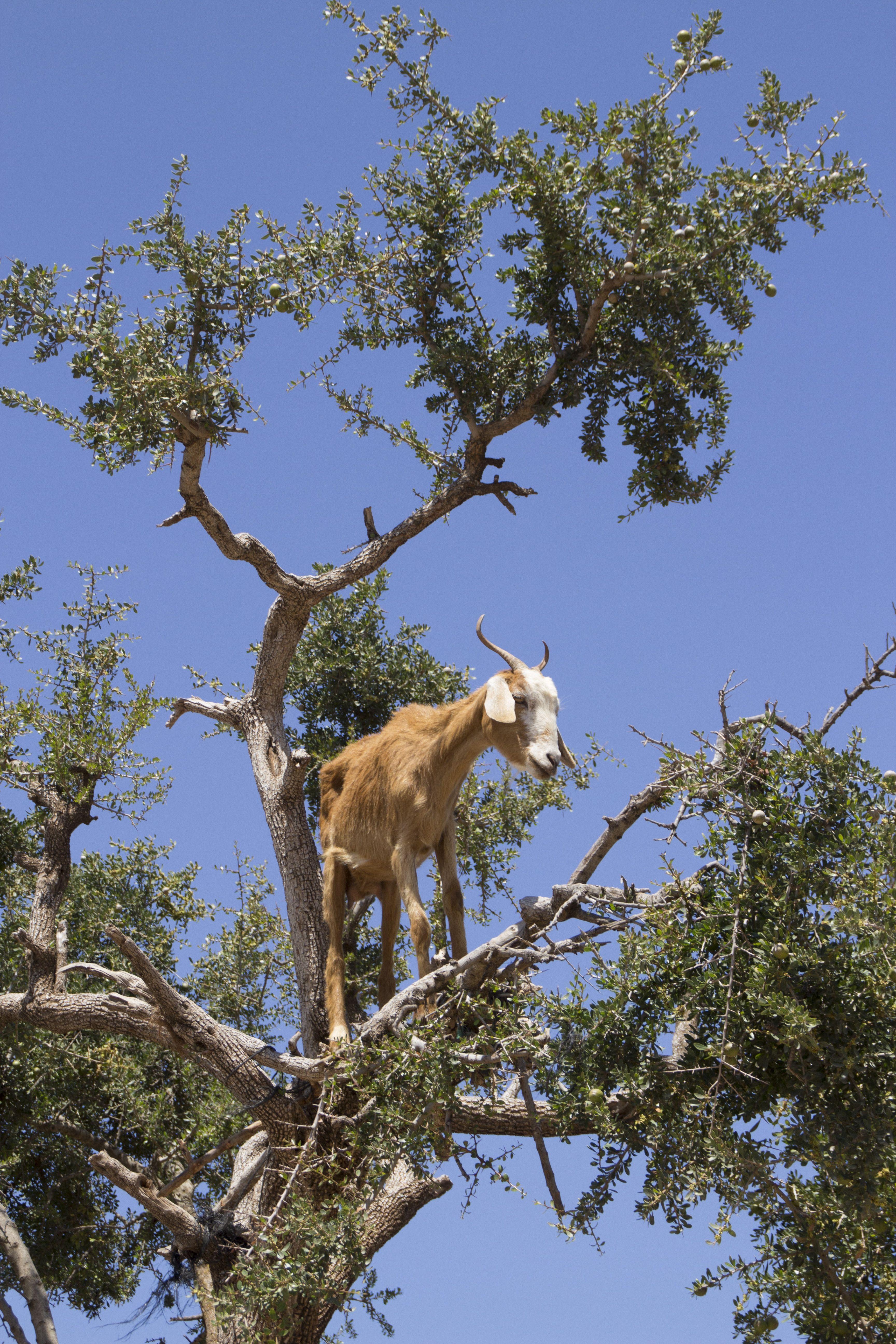 Cabras en árbol de Argan, Essaouira