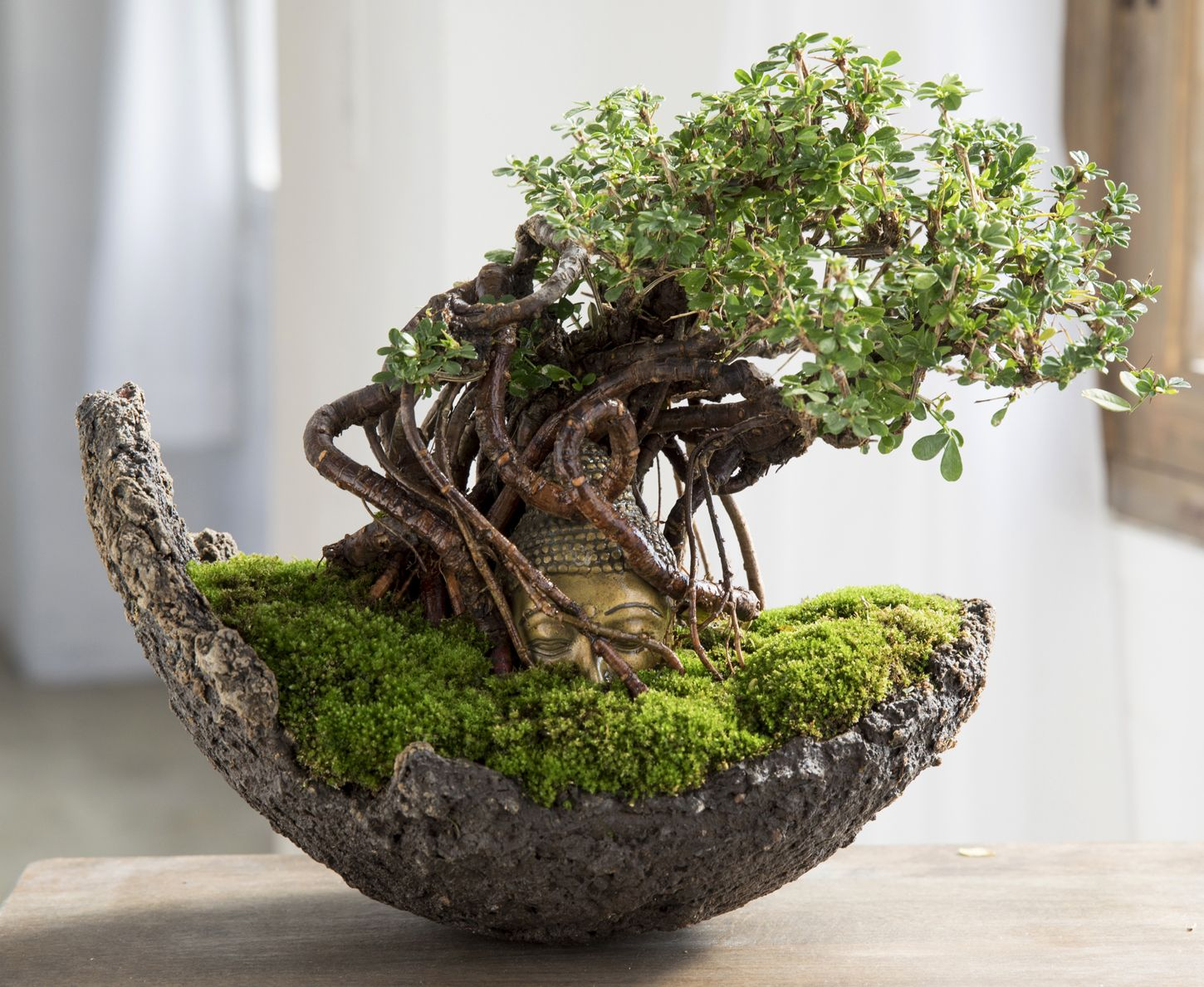 buddha bonsai bonsai pinterest plantes grasses cactus et plantes. Black Bedroom Furniture Sets. Home Design Ideas