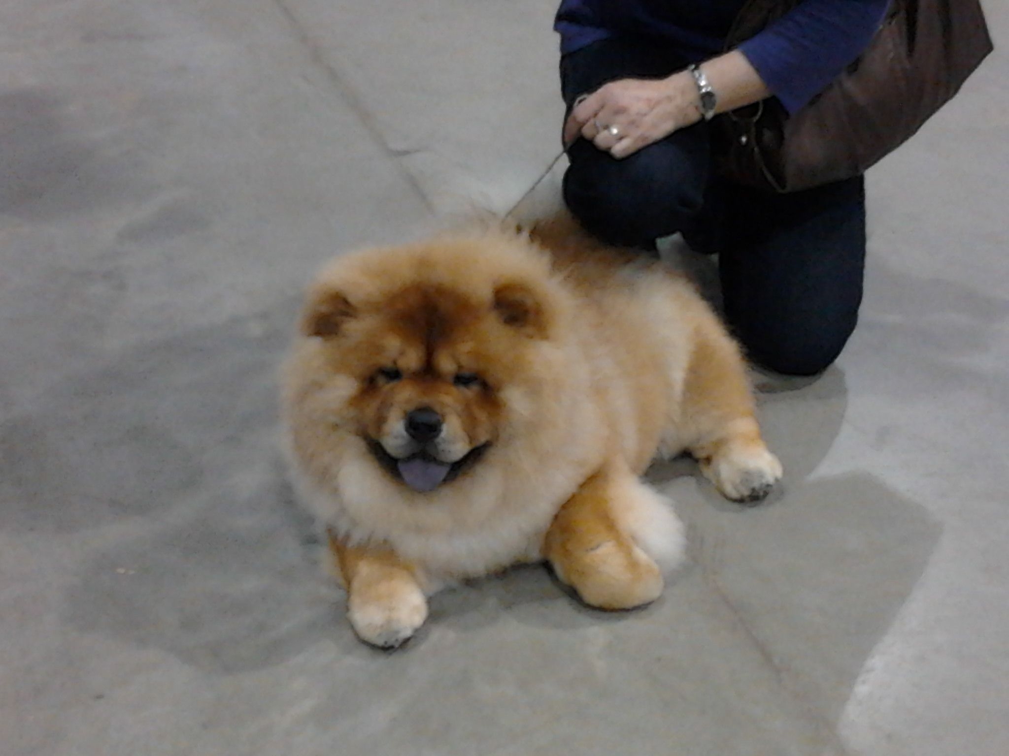 Chow Chow At The Celtic Classic March 2012 York Pa Dog Show