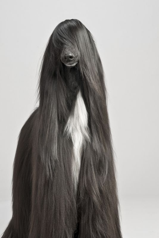 Handsomedogs Afghan Hound Cute Animals Funny Animals