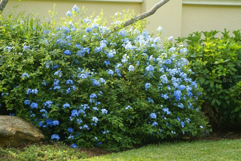 Images Of Flowering Bushes Shrubs Hedge Plants Small