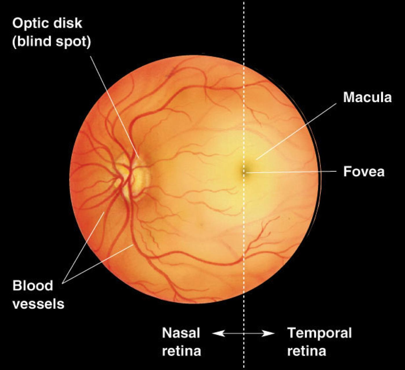 Optic Disc Fovea