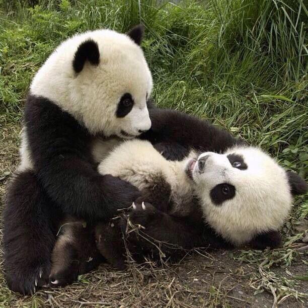 Pandas tickling each other!  Awww......