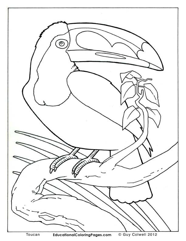Toucan Coloring Pages Birds Colouring