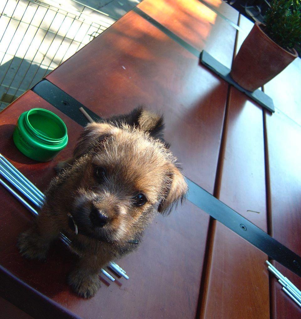 Cutest Dog Ever Norfolk Terrier Puppies Norfolk Terrier Terrier Puppy