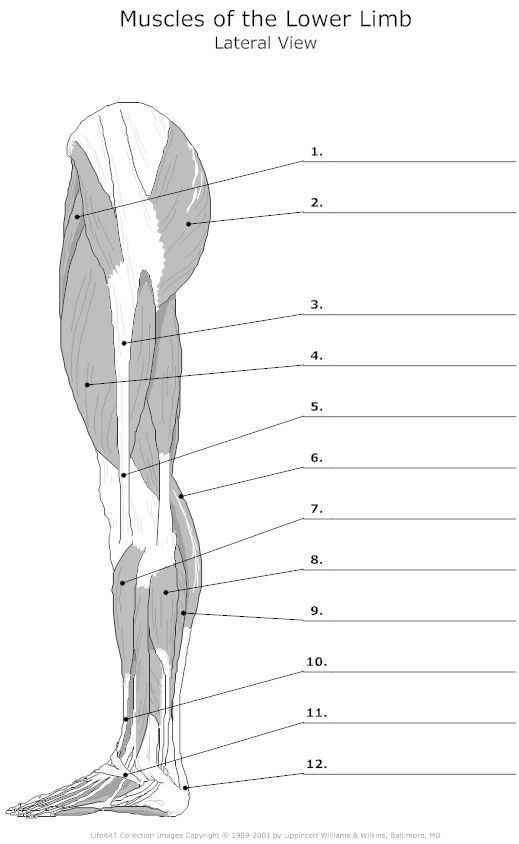 lateral muscles of the lower limb unlabeled anatomy pinterest muscles google search and. Black Bedroom Furniture Sets. Home Design Ideas