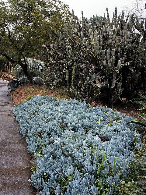Senecio Mandraliscae Blue Chalk Stick Succulents Ground Cover