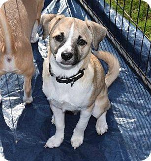 Durham, NC - Terrier (Unknown Type, Small) Mix. Meet Luigi, a puppy for adoption. http://www.adoptapet.com/pet/14673024-durham-north-carolina-terrier-unknown-type-small-mix